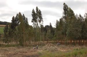 Houtproductie met eucalyptus